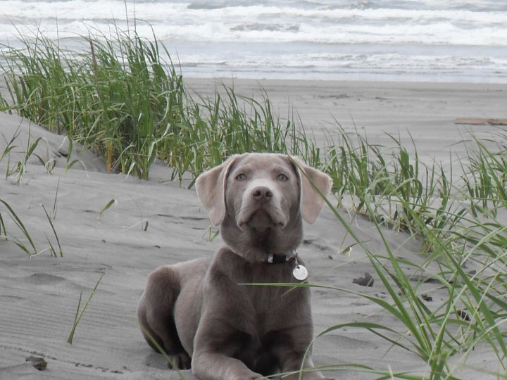 Welcome To Silver And Gold Labrador Retrievers