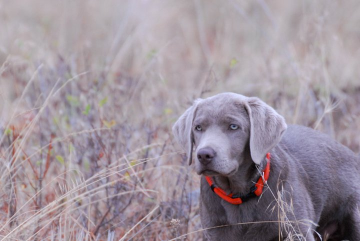 Welcome-to-Silver-and-Gold-Labrador-Retrievers